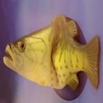 балакуча риба
