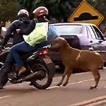 вівця нападає на людей