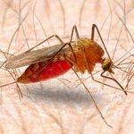 комарі кровопивці