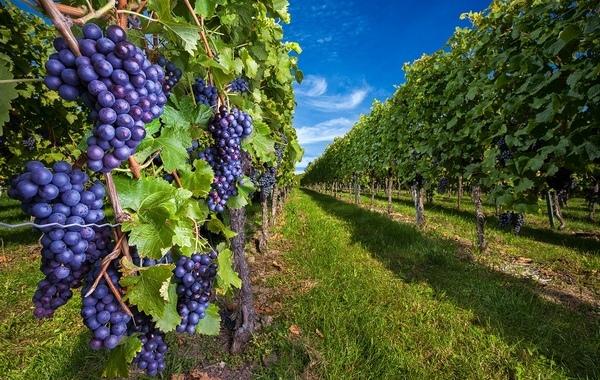 виноградні гори в Німеччині